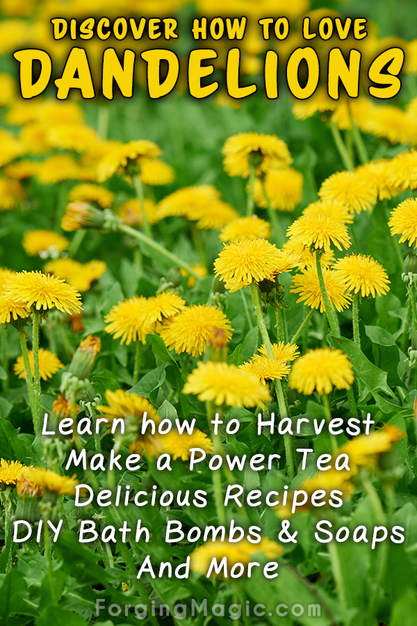 The Benefits and Uses for Dandelions